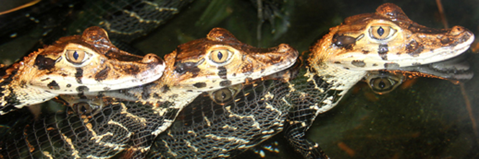 DSv transports Caiman crocodiles