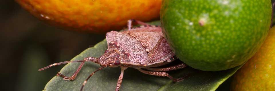 Seasonal Measure for the Brown Marmorated Stink Bug