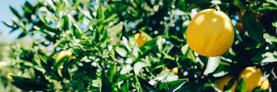 perishables lemons