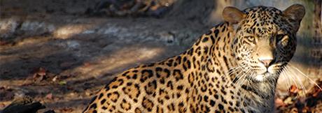 case-study-the-persian-leopard
